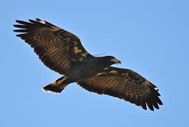 Todd's hawk